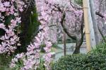 20090321sakura01