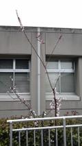 20100315sakura
