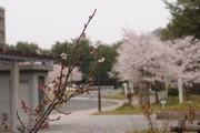 20110411sakuraume01