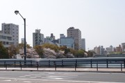 20110412kawazoisakura