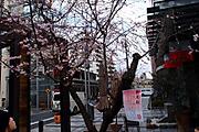 20111213oikesakura01