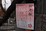 20111213oikesakura02