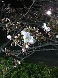 20120409sakura
