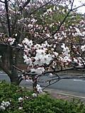 20120410sakura_2