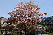 20120501hanamizuki01