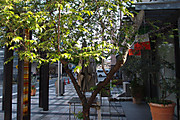 20120511oikezakura03