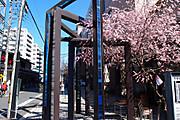 20130311sakura03