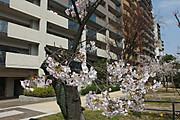 20130410sakura02