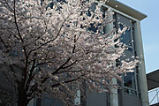 20130416sakura01