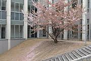 20130407sakura01