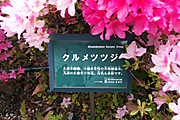 20130501tsutsuji02