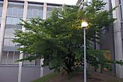 20130616sakuranomi01