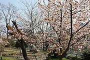 20090409sakura01_3