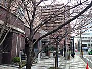 20150325sakura02